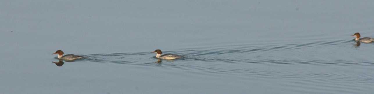 Les migrateurs en baie de Saint Brieuc o4