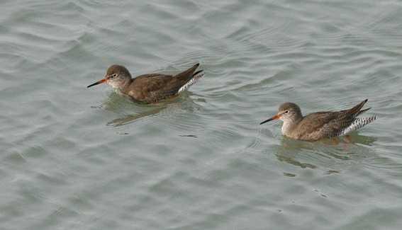 Les migrateurs en baie de Saint Brieuc o8